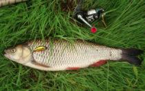 Рыбалка на голавля в августе